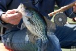Crappie with Orvis fly reel