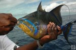 Queen triggerfish