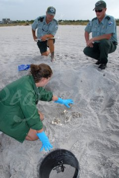 Biologist examines turtle nest