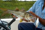 Fat snook with lure