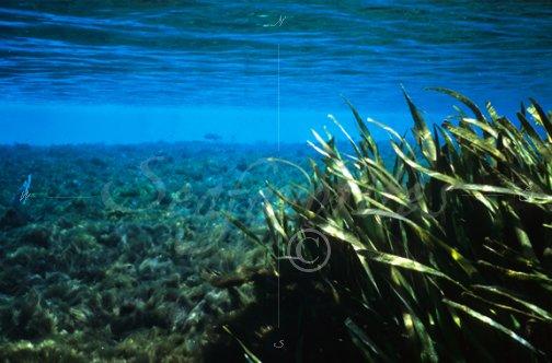 vallisneria grass with lyngbya algae florida spring08