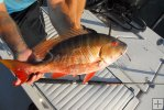 Mutton snapper just caught