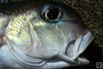 Golden tilefish closeup