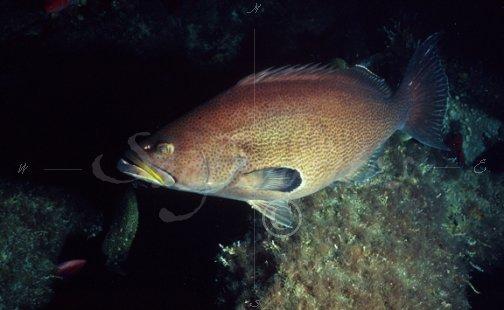 Yellowmouth grouper underwater-7 [Yellowmouth Grouper-07 ... Yellowmouth Grouper Photos