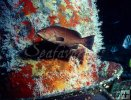 Yellowmouth grouper soft coral underwater
