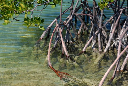 Red mangrove root system