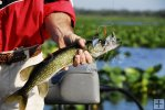 Pickerel and spinnerbait