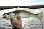 Sand Seatrout