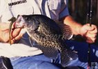 Crappie and worm