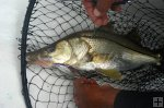 Fat Snook in landing net