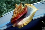 Conch shell in Belize