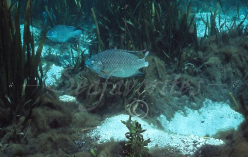 tilapia and lyngbya algae tilapia06 stock photography
