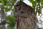 Side-view of a barred owl