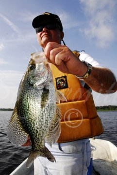 Black crappie with vivid markings