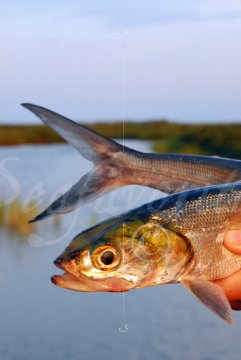 Ladyfish head and tail