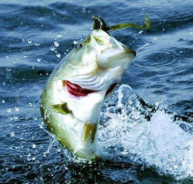 Jumping Bass Florida Bass 53 Stock Photography By
