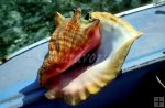 Conch shell in boat