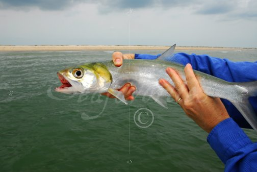 Ladyfish from the surf-2