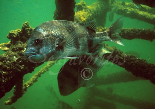 Underwater oil rig sheepshead 11 stock photography by for Sheepshead fishing rigs