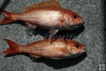 Pair of vermilion snapper