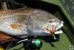 Bull redfish and spin tackle