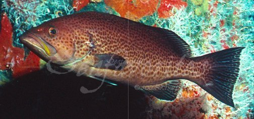 Yellowmouth grouper : Stock photography by Seafavorites ...