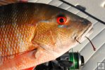 Mutton snapper and tackle