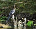 Anhinga at rest