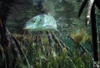 Bonefish underwater-6