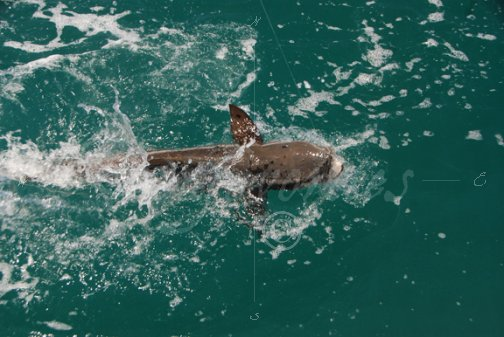 Splashing cobia