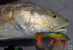 Bull redfish with soft plastic jig