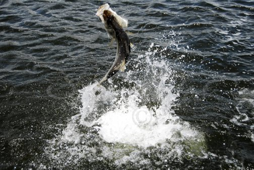 Jumping snook-2