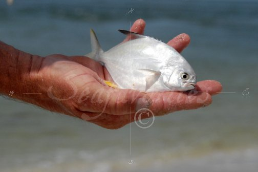 Juvenile pompano pompano 13 stock photography by for Florida pompano fish